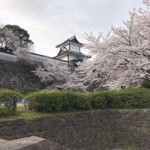 金沢城の桜です