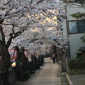 金沢市の主計町は桜がきれいです